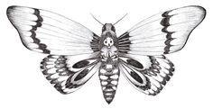 Dessin d'un papillon sphinx tête de mort/ Drawing of a butterfly death's-head moth