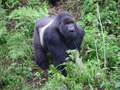 gorillas | ... laid in the gorillas natural habitat back to news story 25 of 158