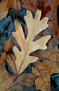 Mulch with oak leaves to add acidity to your soil Oak Leaves, Tree Leaves, Autumn Leaves, Foto Macro, Fractal, Leaf Art, Oak Tree, Belle Photo, Fall Halloween