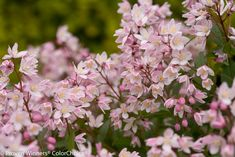 "New for Spring 2014 - Yuki Cherry Blossom Deutzia - Small (12-24""), deer resistant deciduous shrub with attractive burgundy fall colors.  Does well in part sun to full sun, and as a mass planting or border plant.  Suitable for zones 5-8."