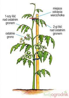 Zetnij wierzchołek pomidora - Miesięcznik Twój Ogrodnik