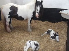 This is too cute! Twins are very rare and actually put a mare in a lot of danger for a birth. Glad to see all three of them look happy and healthy!