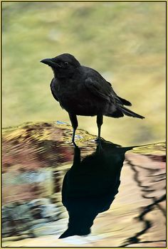 Crow Reflection