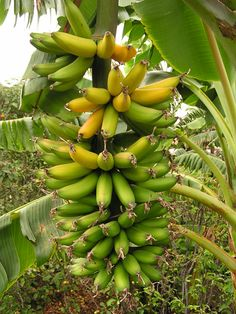 BANANA BASICS-- Best site for all info on growing your own Bananas