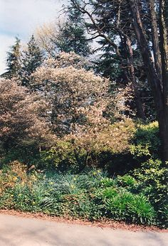 Click to view full-size photo of European Serviceberry (Amelanchier lamarckii) at Connon Nurseries CBV