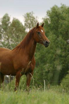 Morgan Horse - VT State Animal