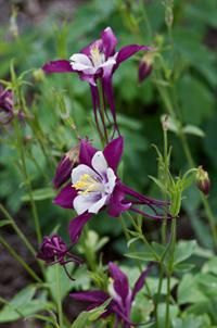 Columbine in the swan series is a Super Plant for the fall of 2011. Love columbine.