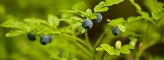 Bilberries in the Finnish wilderness