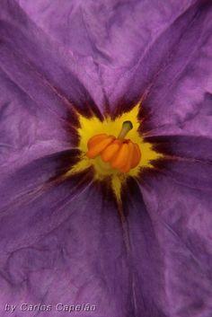 Solanum   Flickr – Compartilhamento de fotos!