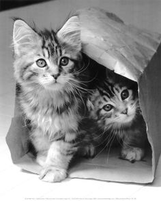 Two Very Cute Cats in a Bag! - For more loveable pictures of cats and kittens, visit our website here. Baby Animals, Funny Animals, Cute Animals, Animal Memes, Pretty Cats, Beautiful Cats, Cute Kittens, Cats And Kittens, Kittens Meowing