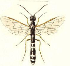 Cephidae - Pesquisa Google