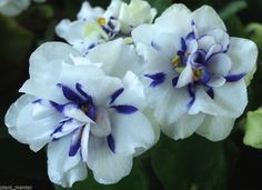 BLUE CONFETTI African violet semi-miniature chimera - isn't this gorgeous?