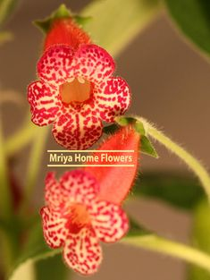 Kohleria  Flashdance Yellow Flowers, Colorful Flowers, Violet Cakes, October Flowers, Home Flowers, Houseplants, Red Color, Perennials, Violets