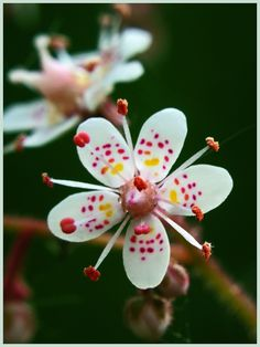 """""""London Pride ~ Saxifraga x urbium."""" (Pinned both to Nature - P&F-Flowers-*Odd Non-Orchid Flowers. & Nature - P&F-Flowers, N. Unusual Flowers, Unusual Plants, Rare Flowers, Flowers Nature, Amazing Flowers, Beautiful Flowers, Orchid Flowers, Tiny Flowers, Beautiful Gorgeous"""