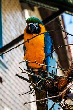 Parrot, Bird, Nature, Animals, Parrot Bird, Animales, Animaux, Birds, The Great Outdoors