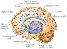 Neuroscience of Touch: Touch and the Brain - Aline Newton Rolfing® Structural Integration Brain Anatomy, Anatomy And Physiology, Medical Anatomy, Anatomy Study, Córtex Cerebral, Cingulate Cortex, Brain Science, Science Education, Health Education