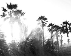 Palm Trees and Sea Grass  Black and White photo by DianeBronstein