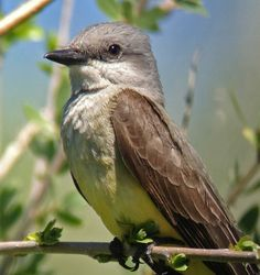 Birding Is Fun!: Western Kingbird by Robert Mortensen