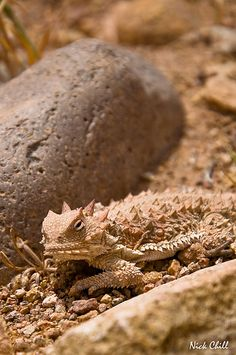 """Horned Toad, commonly referred to as a """"Horny Toad"""" in Texas. These were everywhere and they looked like miniature dinosaurs to me. I haven't seen any for decades. Lizards, Snakes, Texas Legends, Horned Lizard, Texas Animals, Beetle Bug, Axolotl, Texas History, West Texas"""