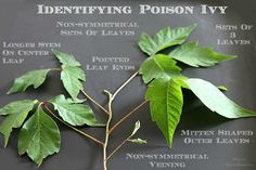 How to identify poison ivy and ways to help prevent getting a rash from it. Poison Ivy Cartoon, Poison Ivy Batman, Identify Poison Ivy, Poison Ivy Plants, Poison Ivy Makeup, Poison Ivy Remedies, Poison Oak, Poisonous Plants, Tomato Cages