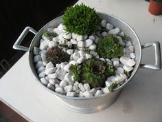 Skalnice (Sempervivum) | Kvety a Záhrada