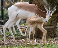 "Gazelles, are attentive moms, but in a different way. ""Their ability to take care of and ensure survival in their young is to stash them and intentionally walk away from them. it almost seems like they don't even care about their babies, when in reality, they are trying to divert any attention from potential predators onto themselves,"""