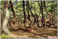 Танцующий лес на Куршской косе Калининградская обл.