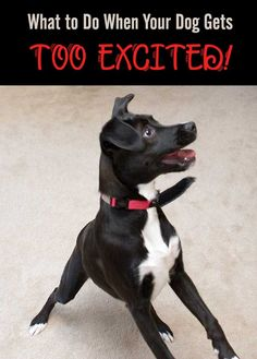 We've all been there, right? Your dog gets too excited or out of control and nothing seems to work to get through to them. Here's some help! #dogs #excitement #dogtraining