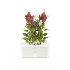 Click & Grow Starter Kit // Cockscomb - an electronic smartpot designed to nurture and grow your plants with very little help.