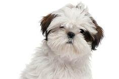 cucciolo Shih Tzu in primo piano