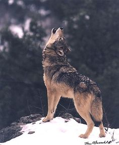 Wolves Howling | Wildlife Photography > PREDATORS > Wolves > Wolf Howling
