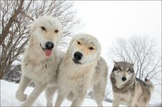 Sis, there are a lot of boards for wolves with a lot of gorgeous pics. You should check them out n follow some.
