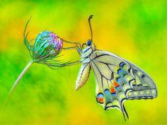 A wonderful butterfly..   by Edmondo