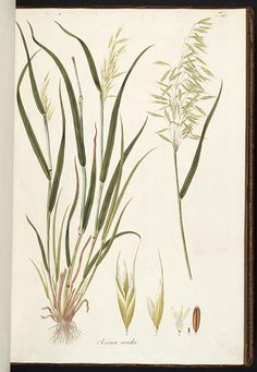 The Missouri Botanical Garden Library presents its Rare Book Digitization Project. Nature Illustration, Floral Illustrations, Botanical Illustration, Botanical Flowers, Botanical Prints, Blade Tattoo, Missouri Botanical Garden, Plant Painting, Fruit Plants