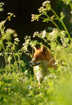 Red Fox by Benjamin Joseph Andrew, via Flickr