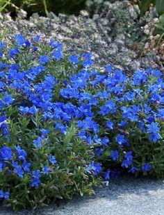 Todella siniset kukat!