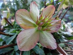 Our Hellebores