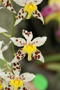 Growing Orchids Beginners | Odm. Shungetsu 'Cyndi's Pick' HCC/AOS (Serendipity × gloriosum )