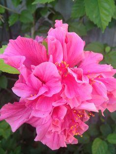 Hibiscus double