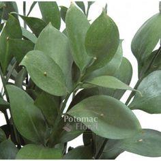 Israeli Ruscus, 50-60cm - Potomac Floral Wholesale