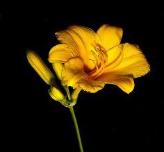 Daylilly Stella D'Oro   Flickr – Condivisione di foto!