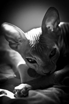 syphnx hairless cat
