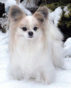 White papillon dog