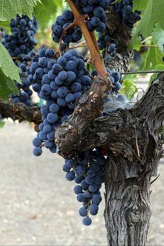 Grapes And Cheese, Wine Vineyards, Napa Valley Wine, Vides, Italian Wine, Vitis Vinifera, Wine Time, Fruit And Veg, Wine Making