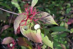 Red Osier Dogwood, otherwise known as the Red Twig Dogwood