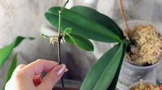 Jednoduchý návod jak doma rozmnožit každou orchideji: Bez bočních výhonků a speciálních přípravků! – Domaci Tipy Phalaenopsis Orchid, Purple Orchids, White Orchid Bouquet, Blooming Orchid, Festival Camping, Garden Yard Ideas, Orchid Care, Ikebana, Indoor Plants