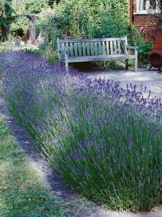 Hedge Herb How To plant and maintain a Lavender hedge. Great for the edge of a patio s shown here. #LandscapingIdeas