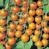 Cherrytomat Gul - Sungold