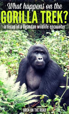 The Gorilla Trek remains one of the most raw and sought after wildlife experiences in the world. Take a look at what happens on a Ugandan Gorilla Trek, and everything you need to know when booking your own excursion.
