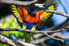 Rainbow Lorikeet in Perth, WA